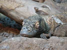 Komodo Dragon Sleeping