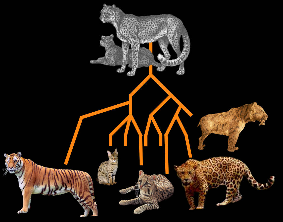 Cat Kind Phylogenetic Tree