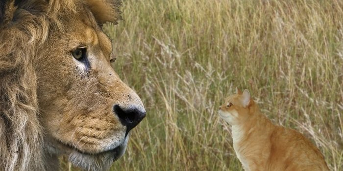 Image result for a cat and a lion