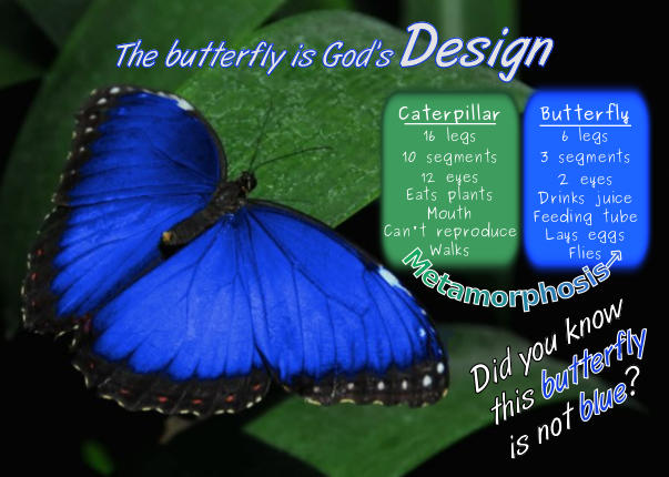 Morpho Butterfly Design Postcard front
